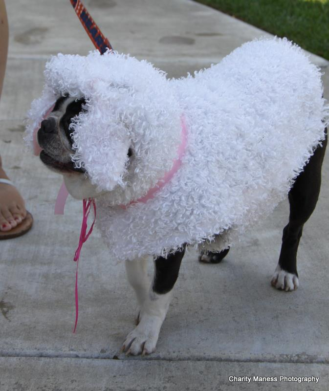 Guinness the sheep